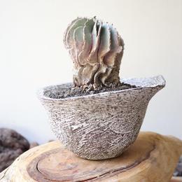 ゲオヒントニア    メキシカーナ  no.010  Geohintonia mexicana