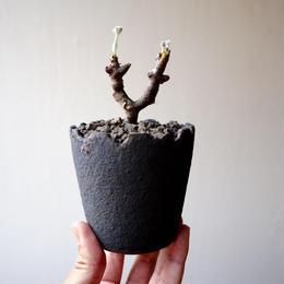 ペラルゴニム    ミラビレ no.014    Pelargonium mirabile