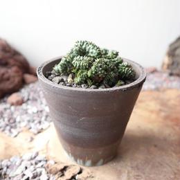 ユーフォルビア  ポリゴナ  綴化   no.003   Euphorbia polygona