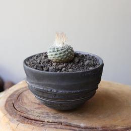 ストロンボカクタス  ディシフォルミス   菊水  no.012   Strombocactus disciformis
