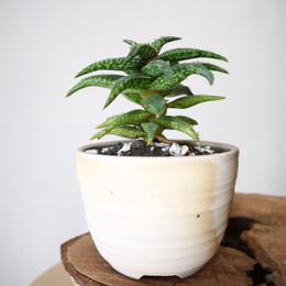 アロエ ジュクンダ   no.001    Aloe jucunda