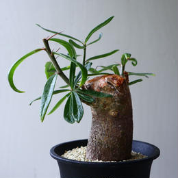 パキポディウム  サキュレンタム     Pachypodium succulentum  no.92303