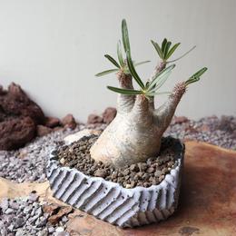 パキポディウム グラキリス   no.011  Pachypodium rosulatum var. gracilius