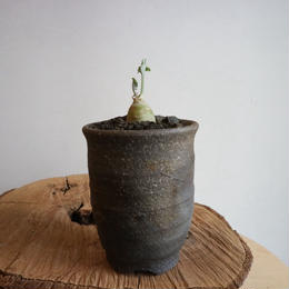 ぺラルゴニウム    クリンガルドテンセ  no.005  Pelargonium klinghardtense