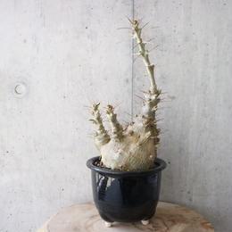 パキポディウム  サンデルシー   no.002  Pachypodium saundersii