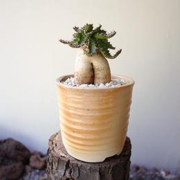 ユーフォルビア ステラータ  飛竜   no.010   Euphorbia stellata