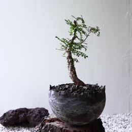 オペルクリカリア  パキプス   Operculicarya pachypus  no.81905