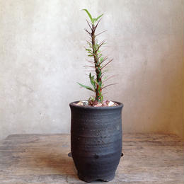 フォークイエリア   プルプシー  Fouquieria purpusii