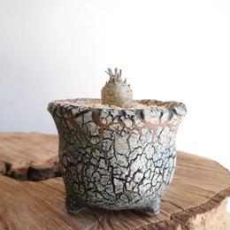 ペラルゴニウム   カルノーサム  no.005   Pelargonium carnosum