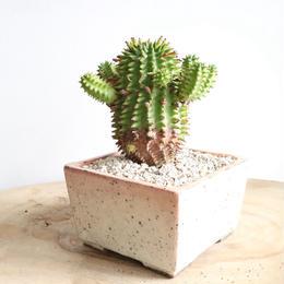 ユーフォルビア   スザンナエ   no.003   Euphorbia susannae
