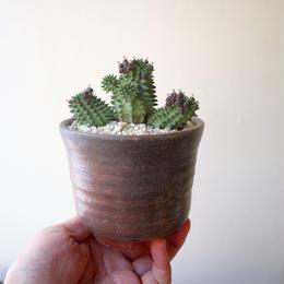 ユーフォルビア   スザンナエ   no.004   Euphorbia susannae