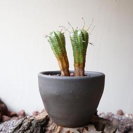 ユーフォルビア  バリダ  hyb.  no.027   Euphorbia valida  hyb.