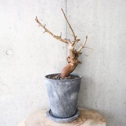 ボスウェリア  ネグレクタ    no.004   Boswellia neglecta