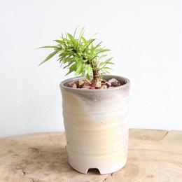 フォークイエリア   プルプシー  no.014  Fouquieria purpusii
