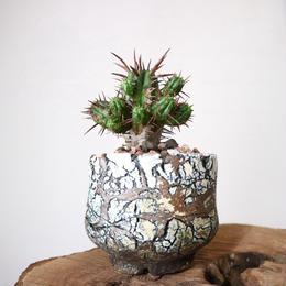 ユーフォルビア  フェロックス    no.002    Euphorbia ferox