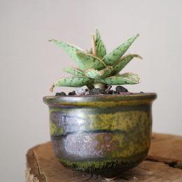 アロエ スーパースノーホワイト    no.001    Aloe rauhii 'Snow White