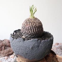 ユーフォルビア    鉄甲丸    no.003    Euphorbia bupleurifolia