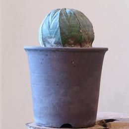ユーフォルビア  シンメトリカ   no.001   Euphorbia  symmetrica