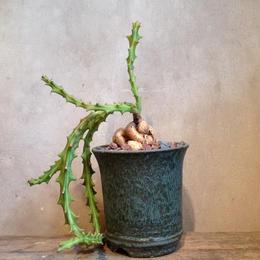 ユーフォルビア   クンチー   Euphorbia knuthii