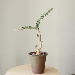 ユーフォルビア   ベハレンシス  no.001   Euphorbia beharensis