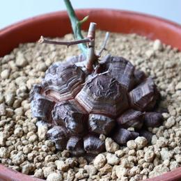 ディオスコレア   亀甲竜    Dioscorea elephantipe  no.923-21