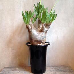 パキポディム   イノピナツム   Pachypodium rosulatum var. inopinatum