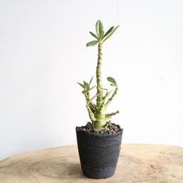 ドルステニア    ギガス    no.002    Dorstenia gigas