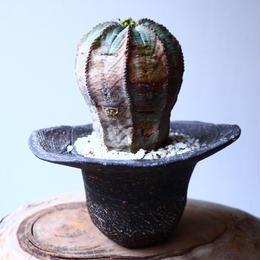 ユーフォルビア  オベサ   Euphorbia obesa   no.20313