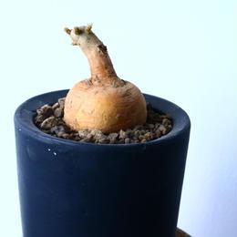 プテロカクタス ツベローサス   黒竜     Pterocactus tuberosus   No.31018