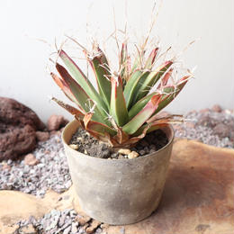 レウクテンベルギア  晃山  no.022   Leuchtenbergia principis