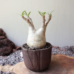 パキポディウム グラキリス   no.008  Pachypodium rosulatum var. gracilius