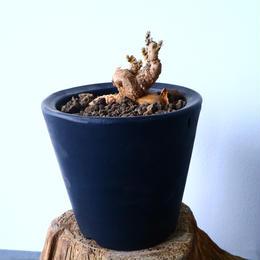 プテロカクタス ツベローサス   黒竜     Pterocactus tuberosus  No.31019