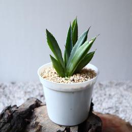 アガベ   キュービック Agave potatorum f.monstrosa 'cubic'   no.102815