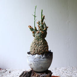 アデニア  グロボーサ    no.012   Adenia globosa