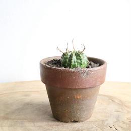 ユーフォルビア  バリダ ♀  no.019   Euphorbia valida