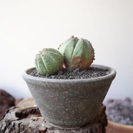 ユーフォルビア  仔吹きオベサ   no.001  Euphorbia obesa