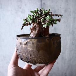 ケラリア  ピグマエア    Ceraria pygmaea  no.017