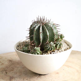 ユーフォルビア  ホリダ  no.009   Euphorbia  horrida
