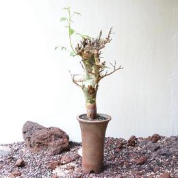 コミフォラ   アフリカーナ    no.005    Commiphora africana