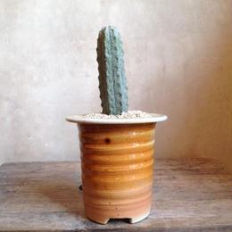 ユーフォルビア   アブデルクリ no.02  Euphorbia abdelkuri