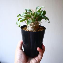 パキポディウム   ナマクアナム  光堂  Pachypodium namaquanum  no.1114-1