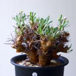 オトンナ   ユーフォルビオイデス   Othonna   euphorbioides  no.92301