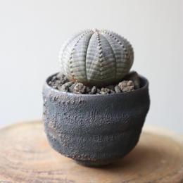 ユーフォルビア  オベサ   no.012    Euphorbia obesa