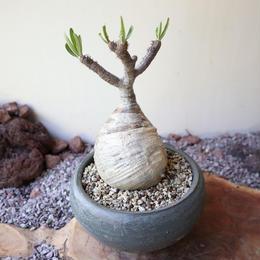 パキポディウム グラキリス   no.010  Pachypodium rosulatum var. gracilius