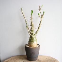 パキポディウム  サンデルシー   no.008  Pachypodium saundersii