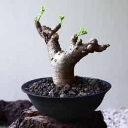 ユーフォルビア    イトレメンシス    Euphorbia itremensis  no.81901