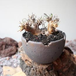 オトンナ   ユーフォルビオイデス  no.012  Othonna   euphorbioides
