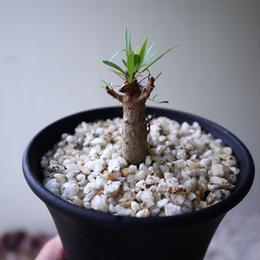 フォークイエリア   プルプシー    Fouquieria purpusii  no.92306