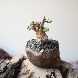 ケラリア  ピグマエア  no.025    Ceraria pygmaea