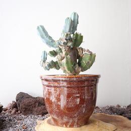 竜神木   no.003   Myrchillocactus geometorizans